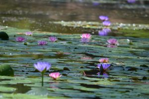 Photo of a pond with pink water lilies on the surface